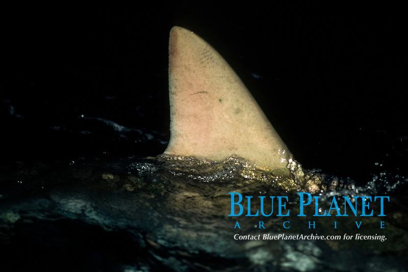 Silky shark, dorsal fin breaking surface, Cocos Island, Carcharhinus falciformis, Costa Rica, Pacific Ocean