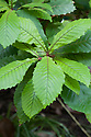 Foliage of Quercus insignis, mid May. A form of white oak native to southern Mexico and Central America.