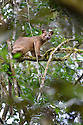 Male Fosa (Cryptoprocta ferox) (sometimes incorrectly Fossa) resting in canopy. Mid-alitude rainforest, Andasibe-Mantadia National Park, eastern Madagascar. IUCN Endangered.
