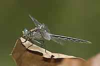 Unicorn Clubtail (Arigomphus villosipes ) Dragonfly - Female, Conant Brook Dam, Monson, Hampden County, Massachusetts