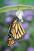 MONARCH BUTTERFLY life cycle..Drying Wings on Joe-Pye Weed  leaf. .North America. (Danaus plexippus).