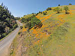 Poppies on the hillside along the Mother Lode's Golden Chain Highway, SR 49 and near the Mokelumne River near Big Bar, Amador County, Calif. as viewed from a drone sUAV quadcopter.