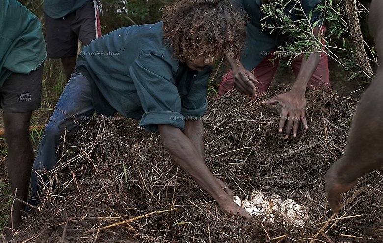 """Aboriginals collect crocodile eggs, part of their native culture.<br /> I've never hunted for crocodile eggs with aborigines before. The day before we had gathered about 140 eggs from 3 nests and the croc had slithered off before we got there.  Aborigines just use a big stick or paddle to defend themselves from charging crocodiles and the first day there were two men armed with sticks.  As we walked toward the nest I patted their shoulders and told them I was standing behind them and they had to protect me.  They monitored my movements and kept themselves between me and the nest.  The next day, however, the sticks were manned by kids and the first nest we found was empty of eggs and no longer had a croc guarding it.  When we came up on the second nest the boat ran up against a log and we all had to jump out into the water to get to land.  Carrying cameras always puts you a couple of steps behind everyone else.  When I jumped into the water, the kids with sticks were already a couple of yards in front of me.  The only thing I really remember after that is seeing this huge gaping mouth of a crocodile coming right at me.  I knew they could run fast but I remember thinking """"how do they see where they're going with all those teeth lifted up in front of their eyeballs?""""  The boys were far enough ahead that they could run to the right.  The crazed animal only had one brain loop operating at that moment... It wanted to get to the water... I was still in the watery rut at the edge of the river and the only thing in its way.  I only had two options: jaws or water.  In panic mode, I chose the water option and the real fear came about one second later realizing I am in water with an angry crocodile.  There is some discrepancy about the size of the crocodile.  Rule of thumb is that an 8 foot crocodile can take a man if they are both in the water.  Estimates from 3 witnesses vary from 7 to 10 feet."""