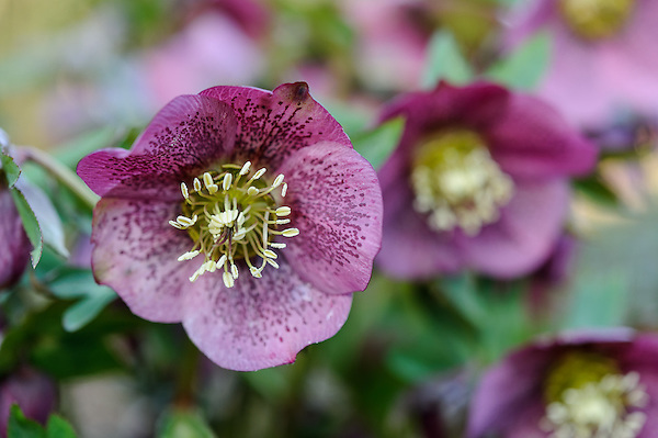 Helleborus 'Ashwood Garden Hybrid' Pink Spotted
