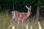 White-tailed deer doe keeps a watchful eye on her 3-4 month old fawn while grazing in an open field. The female is less than 50 feet from her youngster.