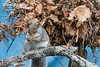 MA23-502z  Gray Squirrel at Nest in the tree branches, Sciurus carolinensis