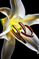 White Stargazer Lily.