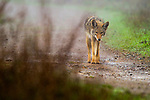 Coyote (Canis latrans), Tennessee Valley, Mill Valley, Bay Area, California