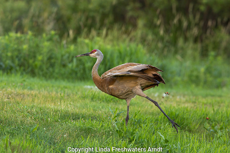 Sandhill crane preparing to fly