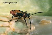 HE05-032z  Large Milkweed Bug Nymph on milkweed seed pod, Oncopeltus fasciatus