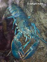 1C41-500z  Blue Lobster due to genetic trait, Homarus americanus