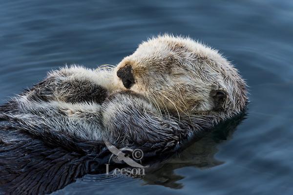 Sea Otter (Enhydra lutris) sleeping in sheltered bay. California coast.
