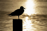 Seagull on pier, Cape Cod, Massachusetts, USA.