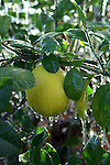The blanket of ice encasing the fruit and leaves of this lemon tree acts as insulation to protect the tree and the fruit from freezing.