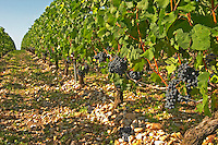 Cabernet Sauvignon vines in a row in the vineyard, circa 35 years old with ripe grape bunches  - Chateau Belgrave, Haut-Medoc, Grand Crus Classe 1855