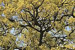 Golan Heights, Mount Tabor Oak (Quercus ithaburensis) tree in Fakhura