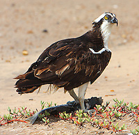 Osprey with fish. This osprey was having to fight off a turkey vulture that wanted to join the feast.