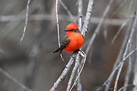 Vermilion Flycatcher (Pyrocephalus rubinus flammeus), Northern subspecies group, male foraging in Patagonia Lake State Park, Nogales, Arizona.