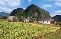 Cuba, Mogotes (Kalkberge) Tabak-Felder im Valle de Vinales, Provinz Pinar del Rio