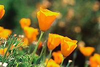 Eschscholzia californica-California Poppy (Annual Flower)