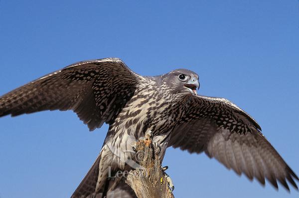 Gyrfalcon. Largest falcon. North America. (Falco rusticolus).