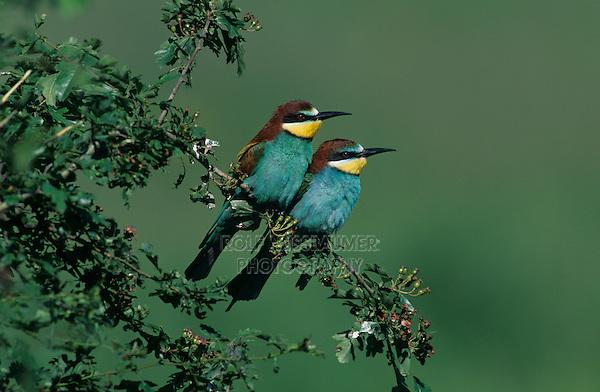 European Bee-eater, Merops apiaster, pair, Fretterans, France, Europe