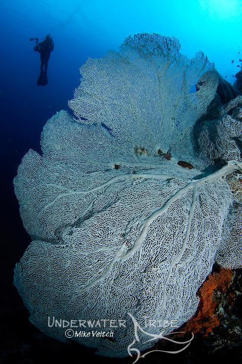 Gorgonian seafan and diver silhouette, Gorgonia sp., Banda Neira, Banda Sea, eastern Indonesia, Pacific Ocean