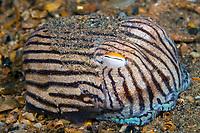 striped pyjama squid, Sepioloidea lineolata, an endemic species of bobtail squids, Edithburgh, South Australia.