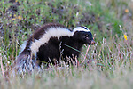 Patagonian or Humboldt's hog-nosed skunk (Conepatus humboldtii). Torres del Paine National Park, Patagonia, Chile.