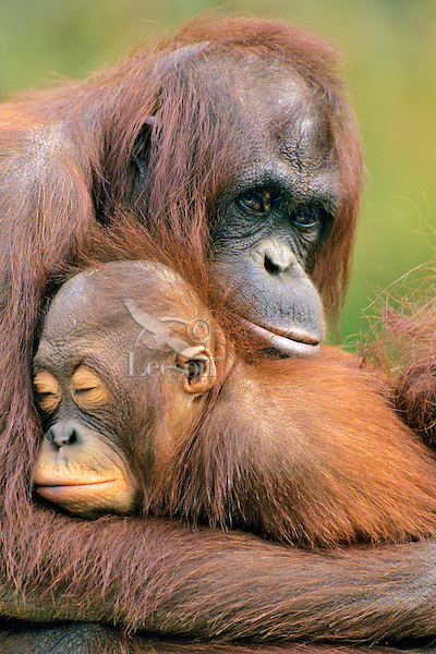 Orangutans (Pongo pygmaeus)--mother with young..(Lowry Park Zoo, Tampa, Florida)