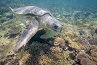 flatback sea turtle, Natator depressus, swimming over coral reef, Australia