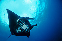 reef manta ray, Mobula alfredi, black color morph, Manta Point, Nusa Penida, Bali, Indonesia, Indo-Pacific Ocean