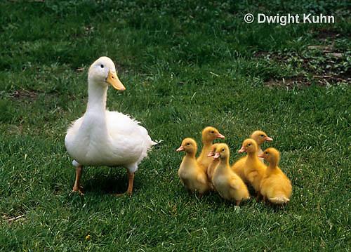 DG20-092z  Pekin Duck - ten day old duckling with mother