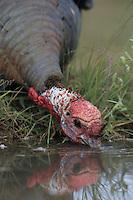 Wild Turkey, Meleagris gallopavo, male drinking, Lake Corpus Christi, Texas, USA, April 2003