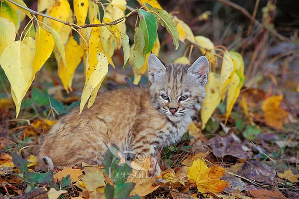 Young bobcat (Felis rufus) kitten.  Western U.S., fall.