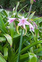 Crinum x powellii AGM summer flowering bulb, pink bloom