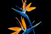 Close-up of two beautiful orange bird of paradise flowers elegantly set against a black background.