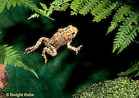FR11-145z  American Toad - young toad jumping - Anaxyrus americanus, formerly Bufo americanus