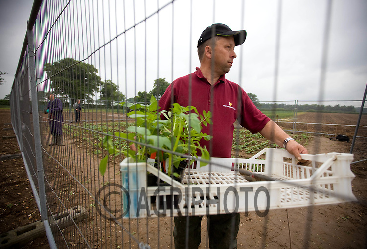 Planting Genetically Modified Potatoes in Norfolk,England