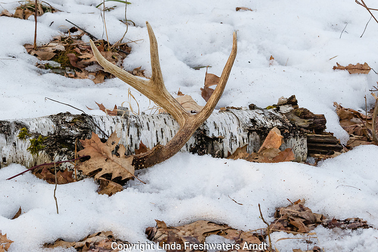 Shed antler from a white-tailed buck in northern Wisconsin