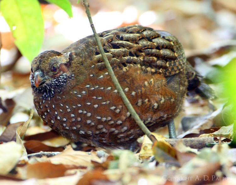 Spotted wood-quail