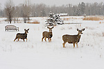 Three mule deer forage for food during a winter storm in Northwest Wyoming.