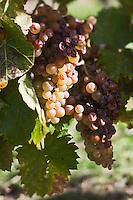 Europe/France/Aquitaine/24/Dordogne/Monbazillac:  Détail grappe raisin AOP Monbazillac