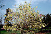 Corylopsis glabrescens spring flowering tree shrub