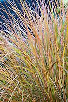 Ornamental Grass Anemanthele lessoniana aka Stipa arundinacea