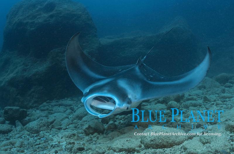 reef manta ray, Mobula alfredi, feeding, Necker, Northwestern Hawaiian Islands or the Leeward Islands, Papahanaumokuakea Marine National Monument, the largest marine wildlife reserve in the world, Hawaii, USA, Pacific Ocean