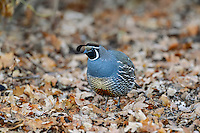 Male California Quail (Callipepla californica) looking for acorns among oak leaves, also known as the California Valley Quail or Valley Quail.  California.  Late winter-early spring.