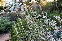 Sphaeralcea ambigua, Desert Globemallow (aka Apricot Globe-mallow, Desert Mallow,) flowering California native shrub in Arlington Garden, Pasadena