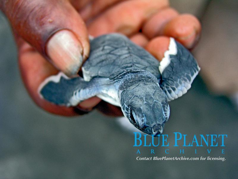 green sea turtle, Chelonia mydas, hatchling, Dominica, Caribbean, Atlantic Ocean