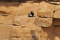 California Condor (Gymnogyps californianus) flying along canyon walls Marble Canyon (Colorado River), Grand Canyon National Park, Arizona.